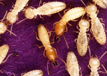 diagnostic immobilier termites infos et devis aix marseille. Black Bedroom Furniture Sets. Home Design Ideas